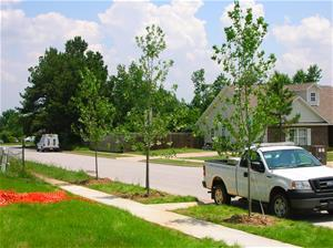New trees begin to blossom in a residential neighborhood