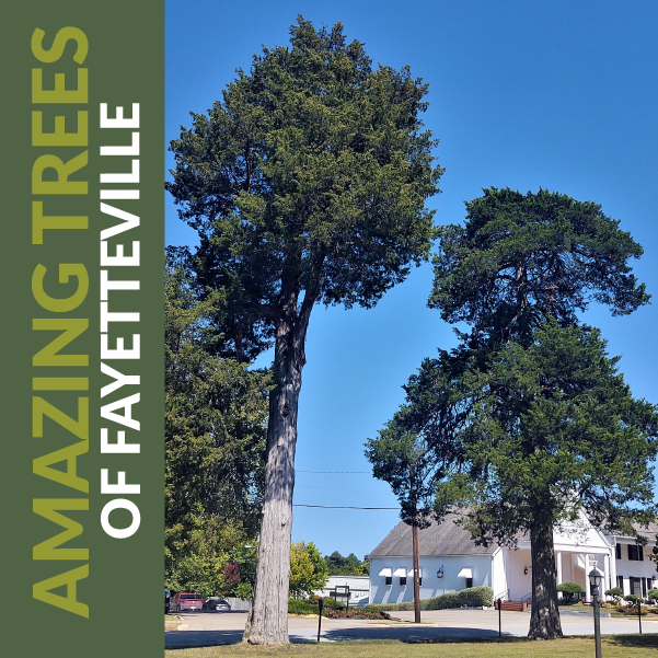 Image of two tall Eastern red cedar trees against a deep blue sky