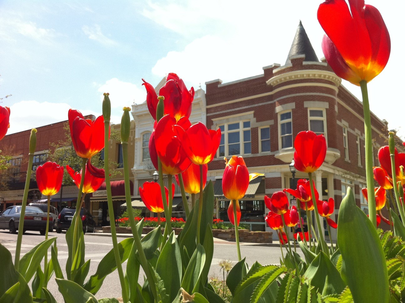 tulips on the square